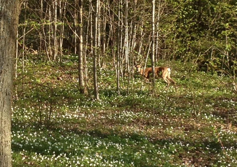 A surprised roe deer among the wood anemones.